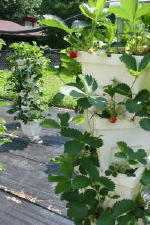 vertical strawberry growing system